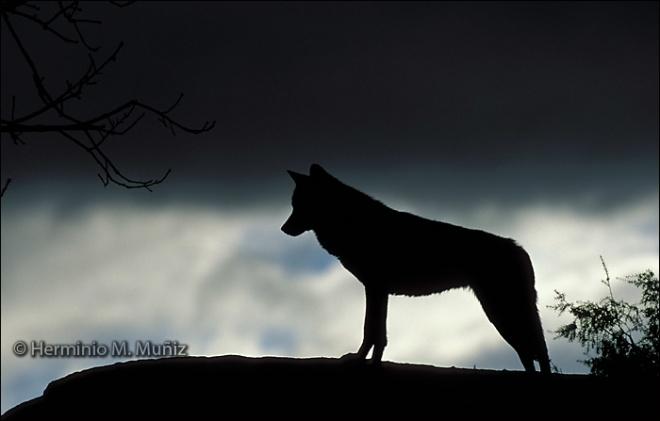 Silueta Lobo: Silueta Lobo