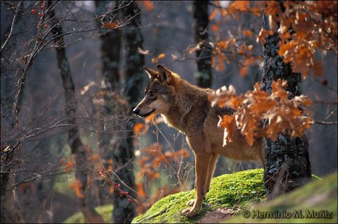 Lobo 2