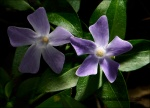 Vinca pervinca -Vinca minor