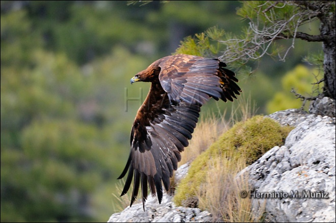 Aguila real-Aquila chrysaetos